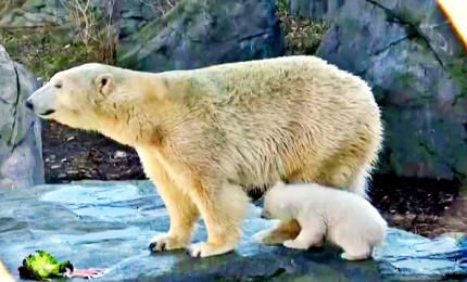 Il cucciolo di orso polare gioca con la mamma allo zoo