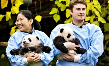 La prima uscita dei panda gemelli Bao Do e Bao Mei