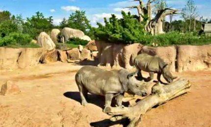 La piccola rinoceronte bianca e i baby langur duca
