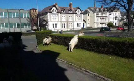 Coronavirus, capre invadono paesino del Galles