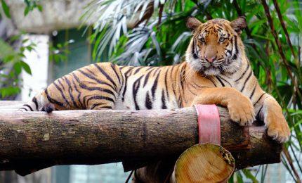 New York, anche una tigre positiva al coronavirus