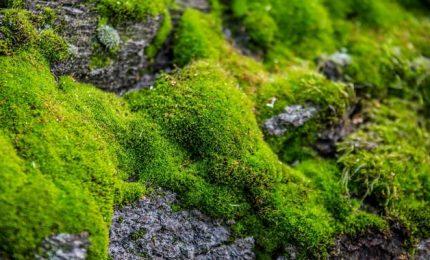 Il muschio suggerisce come migliorare produttività piante
