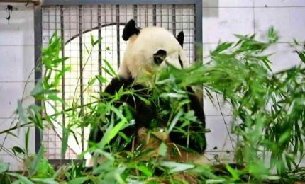 I piccoli sono in incubatrice, le danno un baby panda di peluche