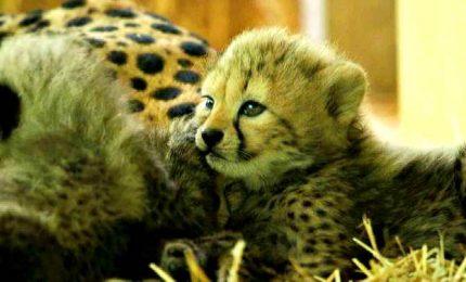 Quattro bellissimi cuccioli di ghepardo nati allo zoo di Vienna