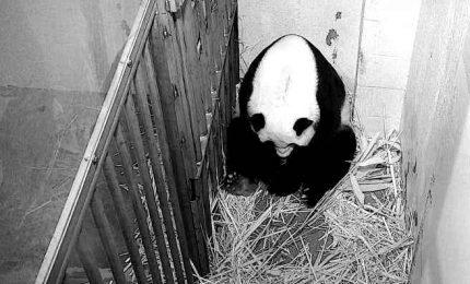 Festa allo zoo di Washington è nato un cucciolo di panda gigante