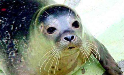 A Lampedusa è tornata la foca Monaca, dagli anni `60 si era quasi estinto nelle nostre acque