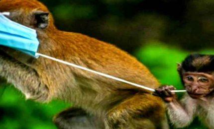 Covid, dai granchi ai macachi: fauna minacciata dalle mascherine