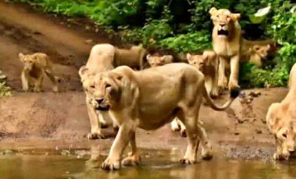 Vaccini anche per i rari leoni in India, minacciati dal cimurro
