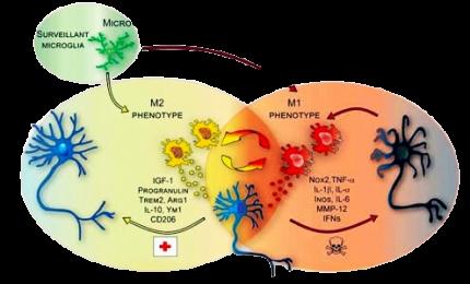 Ciclo sonno-veglia: a regolarlo anche le cellule immunitarie