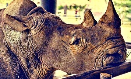 È morto Toby, il più vecchio rinoceronte al mondo in cattività